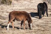 image of mule  - Highland mules grazing on winter mountain meadow in clear sunny day - JPG