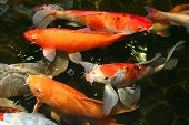stock photo of prosperity  - Koi carp - JPG