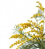 picture of mimosa  - Mimosa isolated on white  background  - JPG