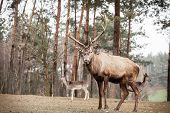 pic of jousting  - Majestic powerful adult male red deer stag in autumn fall forest - JPG