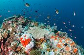 stock photo of damselfish  - Tropical fish swim along a coral reef wall in clear water - JPG