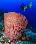 foto of undersea  - Female SCUBA diver near a large undersea barrel sponge on a tropical coral reef - JPG