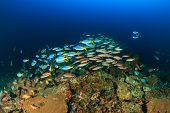 stock photo of shoal fish  - Shoals of fish swim around a deep water coral reef - JPG