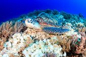 stock photo of green turtle  - Green Turtle on a tropical coral reef - JPG