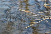 image of water bug  - Common Water Strider  - JPG