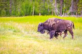 picture of wander  - Adult Bison wanders inside Yellowstone National Park - JPG