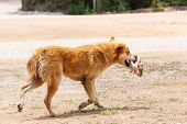 picture of stray dog  - Close up dirty stray dog running with bone in the mouth - JPG