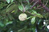 foto of custard  - Custard apple agriculture apple, Custard Apple Fruit,annona Squamosa
