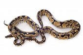 image of python  - Python regius in front of white background - JPG
