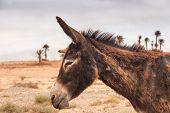 pic of wild donkey  - Brown donkey at field at summer - JPG