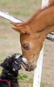 stock photo of schnauzer  - Tender image of miniature schnauzer kissing foal on ranch - JPG