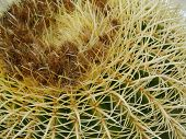 pic of mother law  - Mother in laws cushion or Golden ball barrel cactus  - JPG