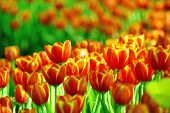 pic of orange blossom  - Orange tulips field blossomed in the spring - JPG