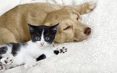 picture of puppy kitten  - kitten and puppy on a white veil - JPG