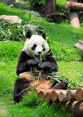 stock photo of pandas  - panda - JPG