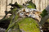 picture of fallen  - The root of a fallen tree covered with moss - JPG