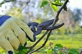 stock photo of tree trim  - Spring pruning of branches young fruit tree garden shears - JPG