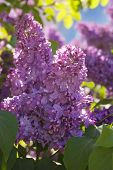 image of lilac bush  - Blooming lilac bushes against the clear blue sky in spring - JPG
