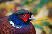 stock photo of pheasant  - close up of the head of a cock pheasant - JPG