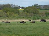 picture of backwoods  - Cows within rural tree lined landscape photographed at Topsham in Devon - JPG