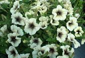 pic of petunia  - White petunia flowers with black pattern closeup full frame - JPG