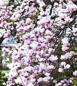 picture of magnolia  - Pink Magnolia Blossoms - JPG