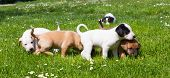 foto of little puppy  - Mixed-breed adorable cute little puppies playing outdoors on a meadow on a sunny spring day. ** Note: Shallow depth of field - JPG