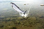 stock photo of lax  - jumping out from water one big salmon - JPG