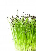 image of chive  - macro image of isolated bunch of garlic chives - JPG