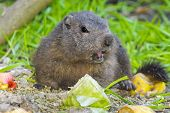stock photo of marmot  - A young European alpine marmot  - JPG