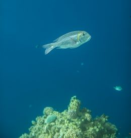 foto of bigeye  - A side view of a Bigeye emperor Monotaxis grandoculis in red sea - JPG