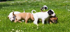 image of little puppy  - Mixed-breed adorable cute little puppies playing outdoors on a meadow on a sunny spring day. ** Note: Shallow depth of field - JPG