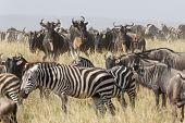 Постер, плакат: Migration Herd Of Wildebeest And Zebra In The Serengeti Tanzania