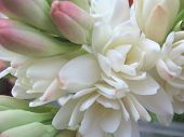 picture of tuberose  - white tuberose close view flower with white petals - JPG