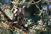 stock photo of screech-owl  - Eastern Screech - JPG