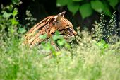 stock photo of ocelot  - ocelot check on grass close - JPG