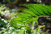 picture of spores  - I like this particular variety of fern due to its large leaves and spores in early spring - JPG