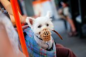 stock photo of hirsutes  - a muzzled dog sitting in a bag - JPG
