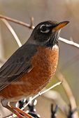 picture of robin bird  - Robin in tree - JPG