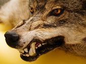 pic of gingivitis  - muzzle of a wolf over orange background - JPG