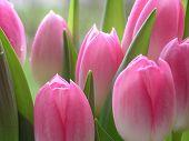 Постер, плакат: Много розовых тюльпанов