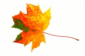 picture of fall leaves  - Fal maple yellowl leaf isolated on white - JPG