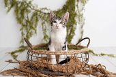 Adorable Tabby And White Kitten With Yellow Eyes Sitting In A Vintage Basket On A White Wood Floor O poster
