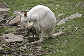 The Albino Western Kangaroo Is Looking After Her Brown Joey In Her Pouch poster