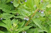 Close-up Of A Flowering Comfrey Shrub With Blue Petals And Hairy Sepals On Rainy Day poster