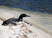 stock photo of loon  - Loon resting on white sandy beach on the shoreline of St Andrews Bay - JPG