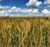 Plowed Field For Spikelet Wheat In Brown Soil On Open Countryside Nature. Spikelet Wheat In Field, S poster