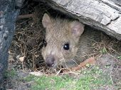 picture of yucky  - the bettong is hiding under an old log - JPG