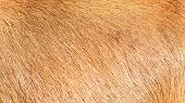 Brown Hairy Texture Of The Cow Skin poster