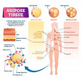 Adipose Tissue Vector Illustration. Labeled Medical Body Fat Explanation Scheme. Educational Diagram poster